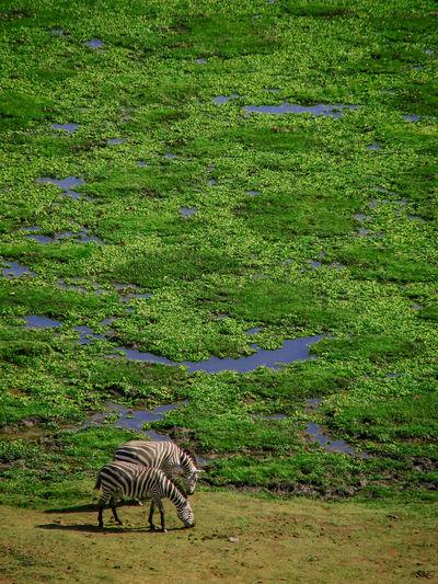 Aerial view of two zebra at edge of marshy area in amboseli, kenya