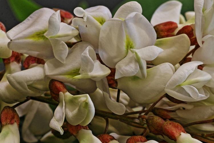 robinia Abundance Blooming Flower Focus On Foreground Fragility Freshness Macro Macro Photography Macro_collection Petal Plant Selective Focus White Color 547 I Miei Fiori Natura