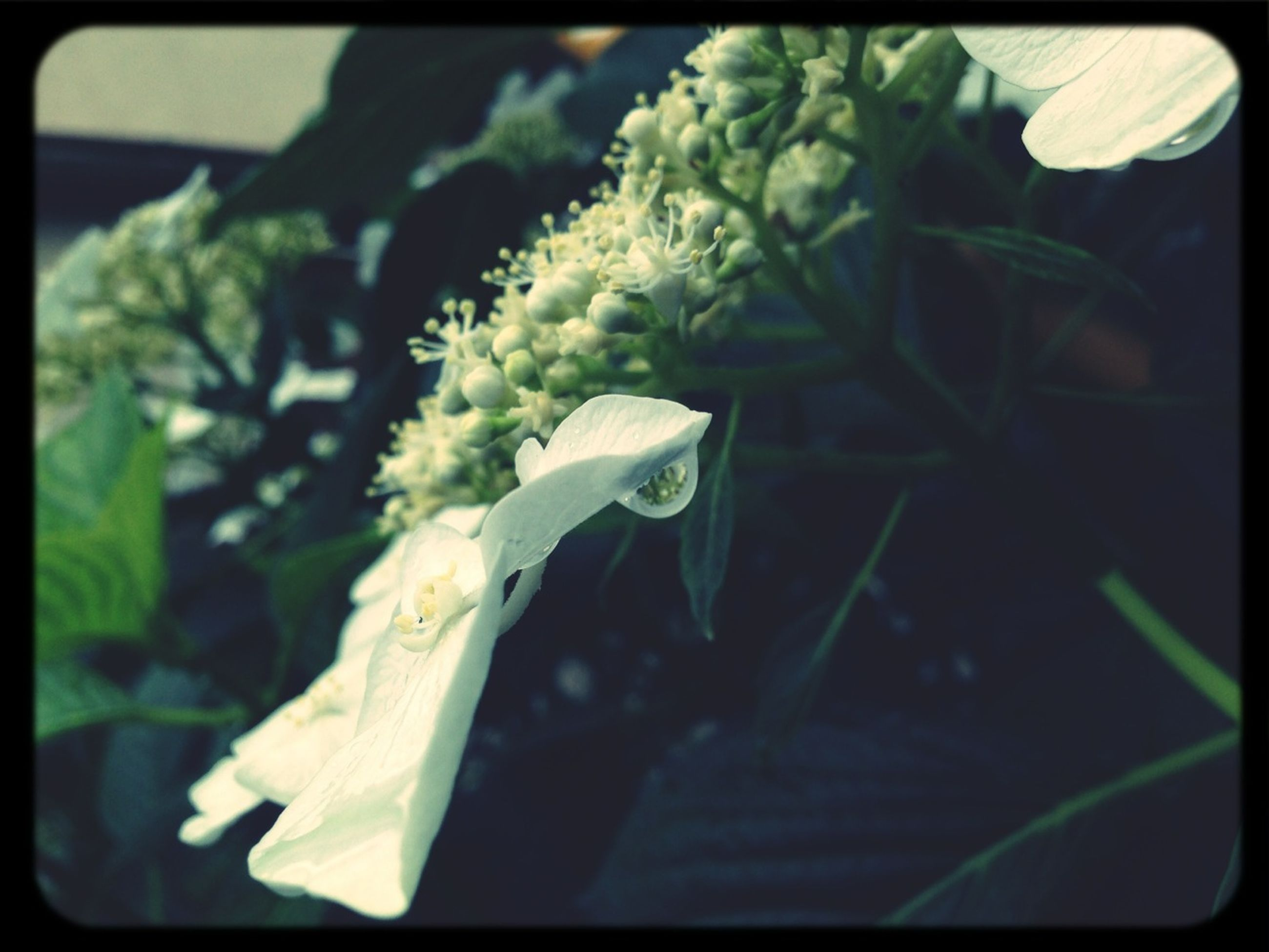 transfer print, auto post production filter, close-up, flower, freshness, fragility, focus on foreground, growth, petal, plant, leaf, beauty in nature, nature, selective focus, flower head, white color, day, green color, no people, blooming