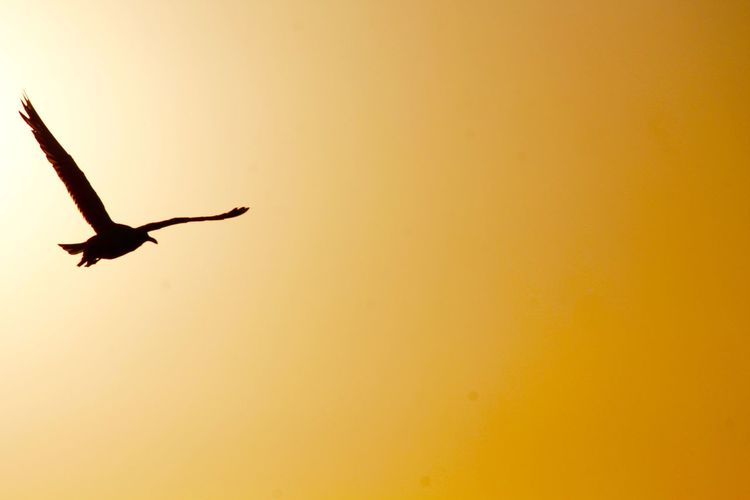 Animal Themes Animals In The Wild Australia Beauty In Nature Bird Flying Nature Outdoors Silhouette Sky Sunset Traveling First Eyeem Photo