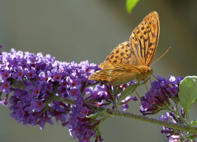 Silver-washed Fritillary - Butterfly - Spring Flowers - Landscapes - Fine Art Photography - Out & About With Nature - Garden & Nature - Natural Beauty