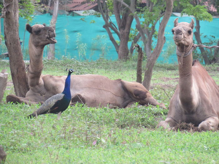 Camel Peacock Friends Animals Partnerships Tree Bird Field Grass
