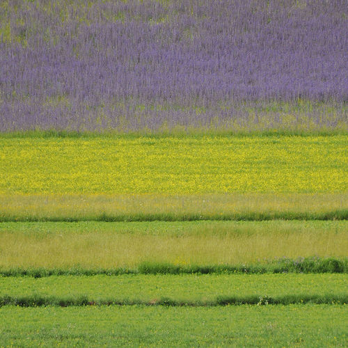 Contrast in nature - grass and flowers. Backgrounds Beauty In Nature Close-up Contrast In Nature Day Field Flowers Grass Grass And Flowers Green Color Lines Multi Colored Nature No People Outdoors Pattern Purple Purple Flower Purple Yellow Green Rural Yellow Perspectives On Nature