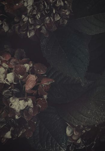 Autumn Colors Withered  Hydrangea Faded Beauty Faded Color Flowers Natural Beauty Getting Creative From My Point Of View 諸行無常🍂relic Of A Bygone Ago Light And Shadow Darkness And Light Darkness And Beauty Fantastic Exhibition Artistic Expression ArtWork Dark Edit My Edition Flowers, Nature And Beauty EyeEm Nature Lover Full Frame Japan Photography VSCO ゆf in Osaka,Japan