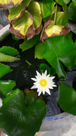 Beauty In Nature Blooming Close-up Day Flower Flower Head Fragility Freshness Green Color Growth Leaf Lily Pad Lotus Water Lily Nature No People Outdoors Petal Plant Water Water Lily