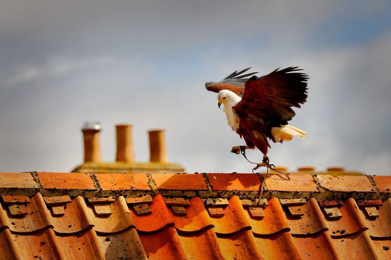 Bird Sanctuary Bird Animal Themes One Animal No People Day Animals In The Wild Outdoors Perching Low Angle View Spread Wings Roof Sky Architecture Close-up Nature Bird Of Prey