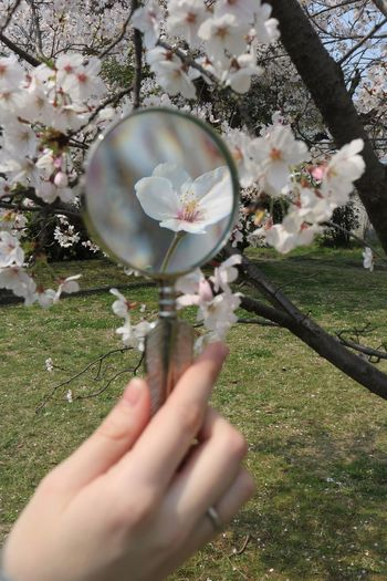 Zoom in on Nature Zoom Zoom In Magnification Magnifying Glass Cherry Blossom Cherry Blossoms Cherry Tree Holding Close Up Human Hand Fragility Perfect Perfection Nature Nature's Beauty Beauty In Nature Freshness Rainbow Colors Delicate Delicate Beauty Delicate Flowers Spring Springtime My Best Photo