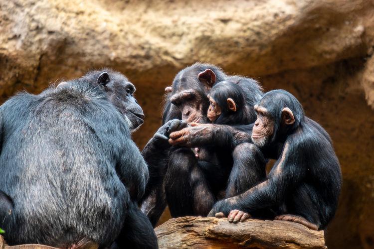 Monkeys in a zoo