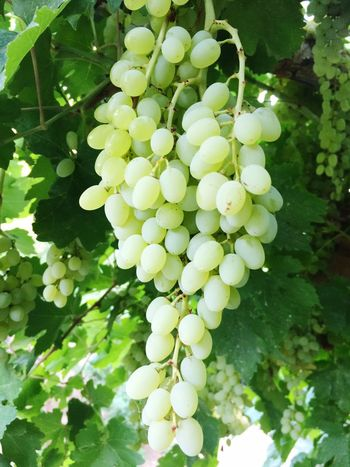 Grapes Grapes 🍇 Nature Tree Check This Out Hello World Taking Photos Relaxing Delicious Iran Iranshots Iran♥ Tehran Tehran, Iran Kermanshah Garden Garden Photography