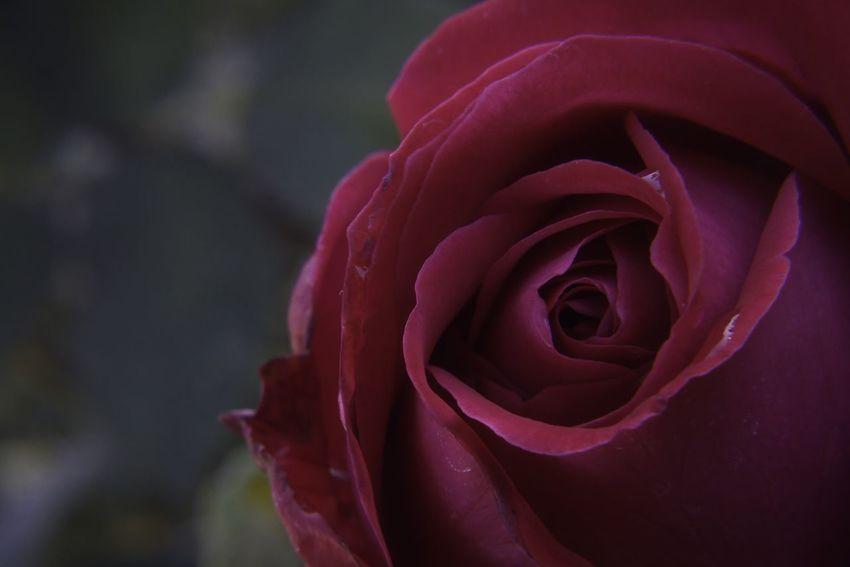 Huntington Library Rosé Macro D5500 Flower Petal Nature Rose - Flower Beauty In Nature Fragility Flower Head