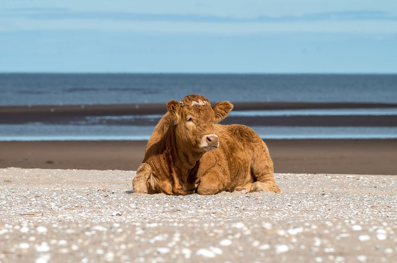 Cow relaxing at beach