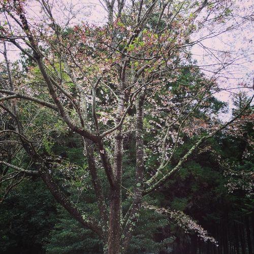 🌸ひさかたの 光のどけき 春の日に 静ごころ なく 花の散るらむ 百人一首 🌸世のなかも 常にしあらねば やどにある 桜の花の 散れるころかも 枕草子 …って感じだなぁ