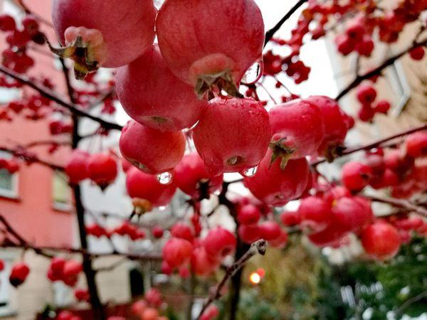 Rajskie jabłka_ Wild apple Crab Apple Tree Wild Apple Tree Freshness Tree First Eyeem Photo Apple Tree Apple - Fruit Red Fruits
