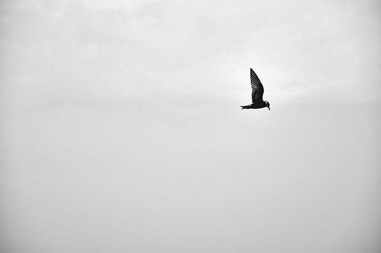 wings... Bird Love Minimal Minimalist Birdphotography Srinagar  Amazing Amazingindia Incredibleindia Indiapictures Like4like Like Likeforlike Commentforcomment Comment Comment4comment Follow Followme Instapic Instagramers Instagood Instagram Igera Instagram Nikon nikonphotography skyporn aperturemuj