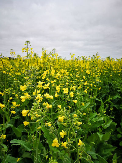 Canola flowers in the field. Nature Flower Sky Landscape Day Field Outdoors Yellow Farm Springtime Australia Land Agriculture Growth Fragility Freshness Canola Western Australia Beauty In Nature Crop  No People Vulnerability  Rural Scene Oilseed Rape Farmfield Plant Flowering Plant Crop  Vulnerability  Flower Head