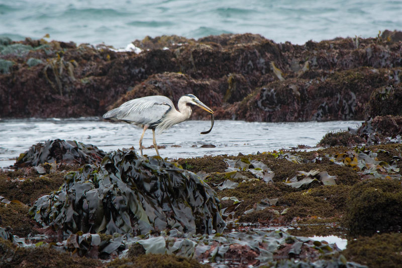 Gray heron at dirty beach