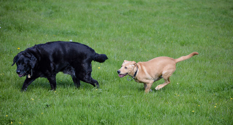Animal Themes Day Dog Domestic Animals Field Grass Mammal Motion Nature No People Outdoors Pets Playing Running