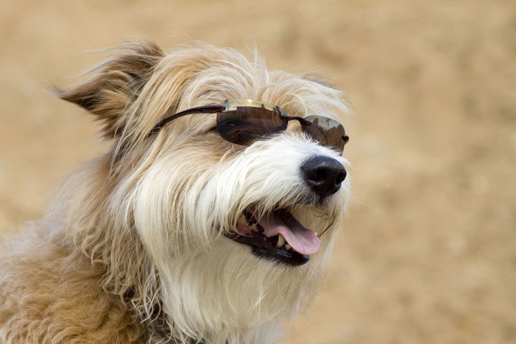 Happy dog with sunglasses Animal Hair Animal Themes Close-up Day Dog Domestic Animals Mammal No People One Animal Outdoors Pets Portrait Sunglasses