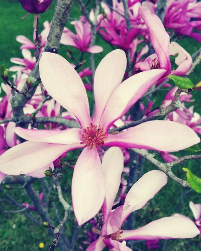 Pink Flower Spring Flowers Nature Flowers Nature Photography Magnolia Pink Spring Has Sprung Dark Pink By Motorola Spring Into Spring