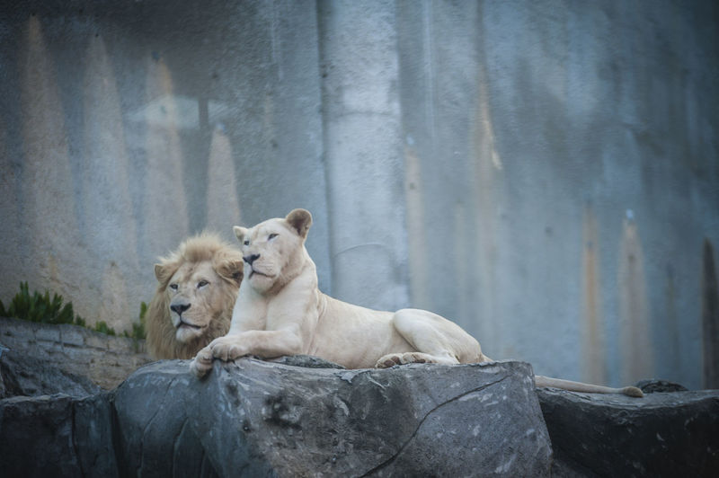Low angle view of majestic lions resting on rocks in zoo