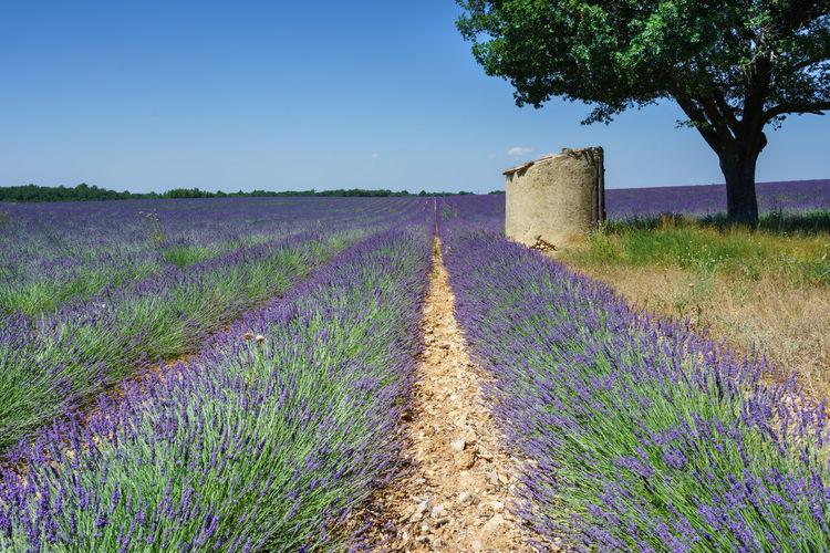 Lavender Haute