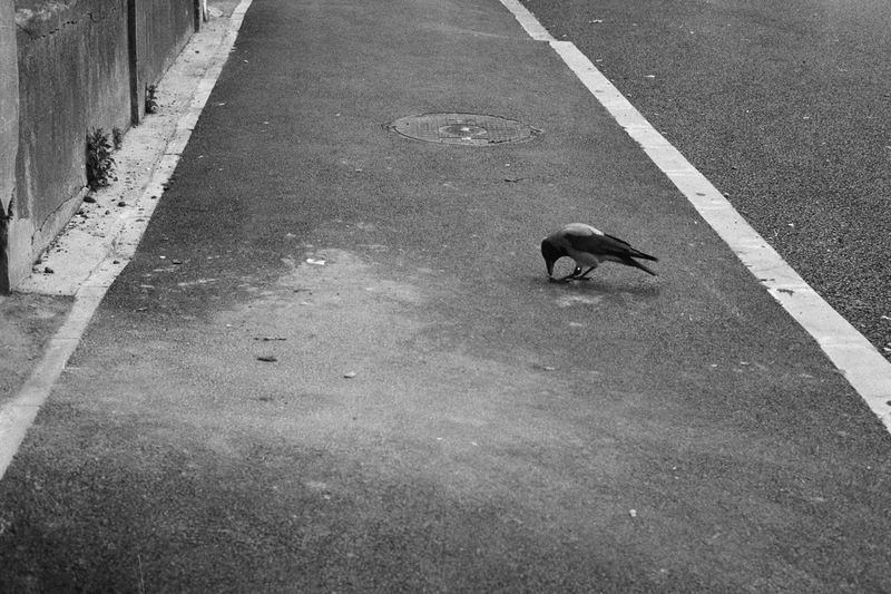 35mm Film Analogue Photography Animal Themes Bird Blackandwhite Crow Day No People One Animal Outdoors Road