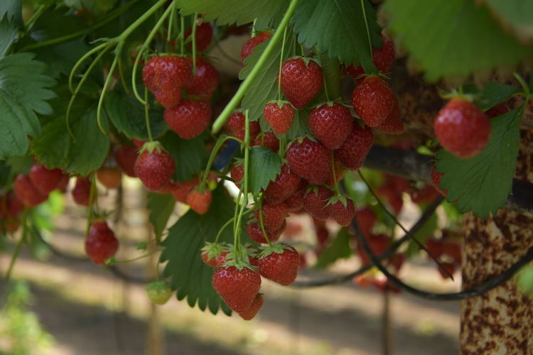 Berry Fruit Close-up Day Focus On Foreground Food Food And Drink Freshness Fruit Green Color Growth Healthy Eating Leaf Nature No People Outdoors Plant Plant Part Red Ripe Rowanberry Strawberries Strawberry Wellbeing