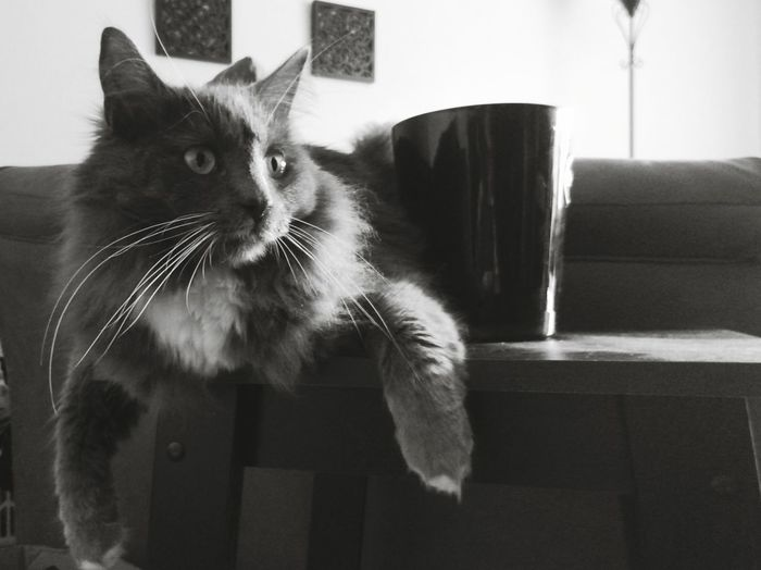 Domestic Cat Pets Domestic Animals Animal Indoors  One Animal Feline Mammal Animal Hair Home Interior Animal Themes Living Room Portrait No People Day Jinxx Black & White Pet Portraits
