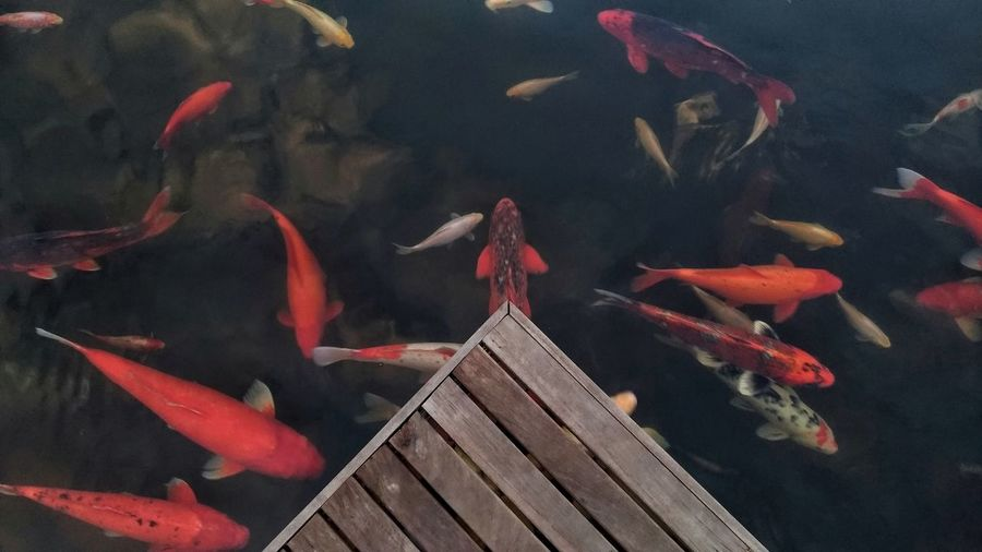 Koi fish in clear water.