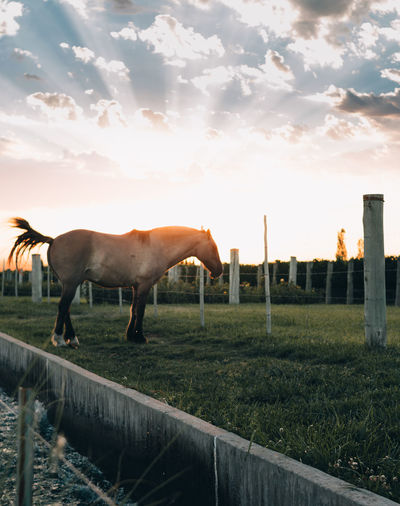 Horses standing in ranch against sky during sunset