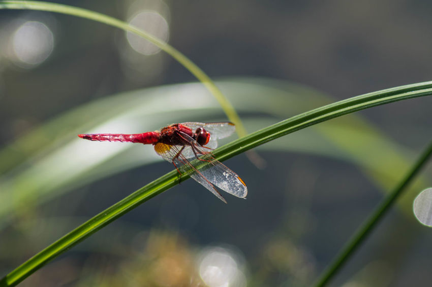 Red dragonfly. Insect Animal Wildlife Animal Invertebrate Animal Themes One Animal Animals In The Wild Close-up Focus On Foreground Plant Red Day No People Beetle Nature Selective Focus Ladybug Growth Animal Wing Beauty In Nature Outdoors Blade Of Grass