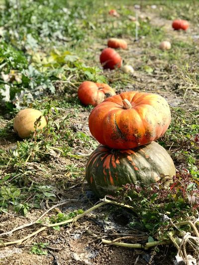 Pumpkin Field Vegetable Nature No People Growth Food And Drink Autumn Day Plant Halloween Outdoors Freshness Grass Food Close-up Squash - Vegetable Healthy Eating