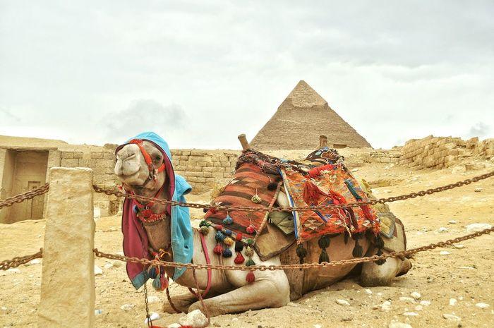 Egypt Gizapyramids Giza, Caïro, Egypt Pyramids Famous Place Scenics EyeEm Gallery Camel Camello Camellove Taking Photos Tourism Travel Destinations Urbanexplorer Tourist Beautiful Finding New Frontiers