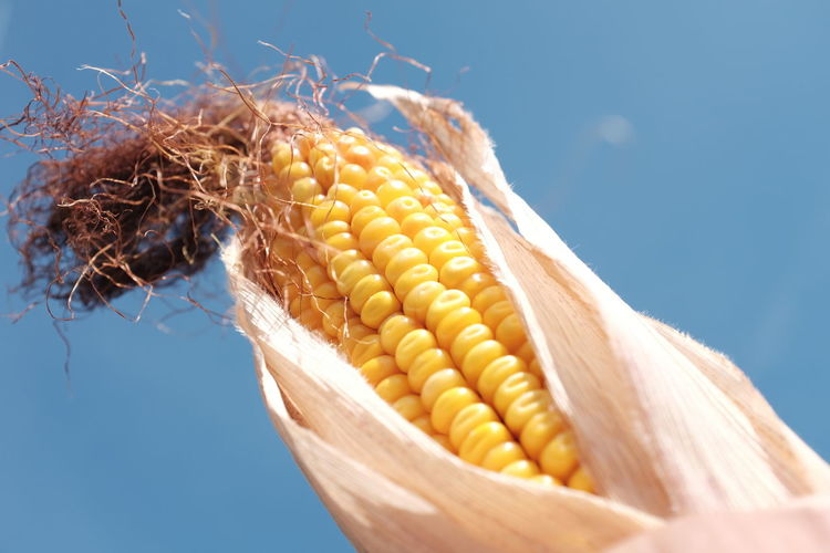 Close-Up Of Sweetcorn Against Blue Sky