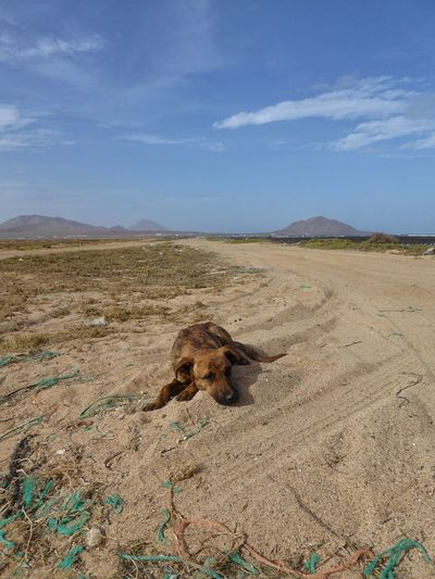 Dog Dogs Dog Love Dogslife Doglover Lonely Dog Cape Verde Cabo Verde Sal Island, Cape Verde