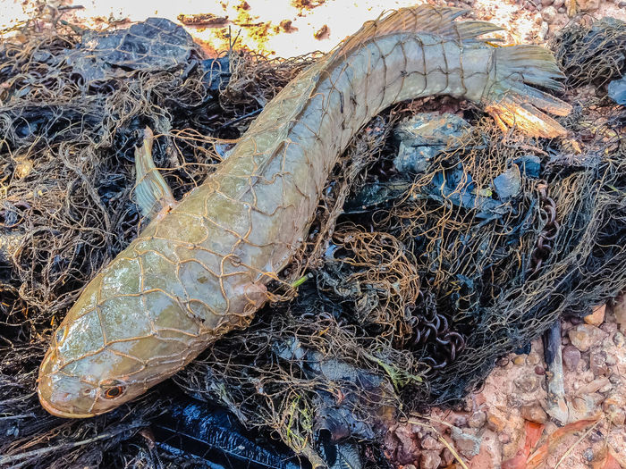 Catching snake head fish in the net Fishing Net Catch Of Fish Close-up Day Fish Fish In Net Fishing Net Freshwater Freshwater Fish High Angle View Nature No People Outdoors Snake Head Snake Head Fish Snakehead Snakehead Fish