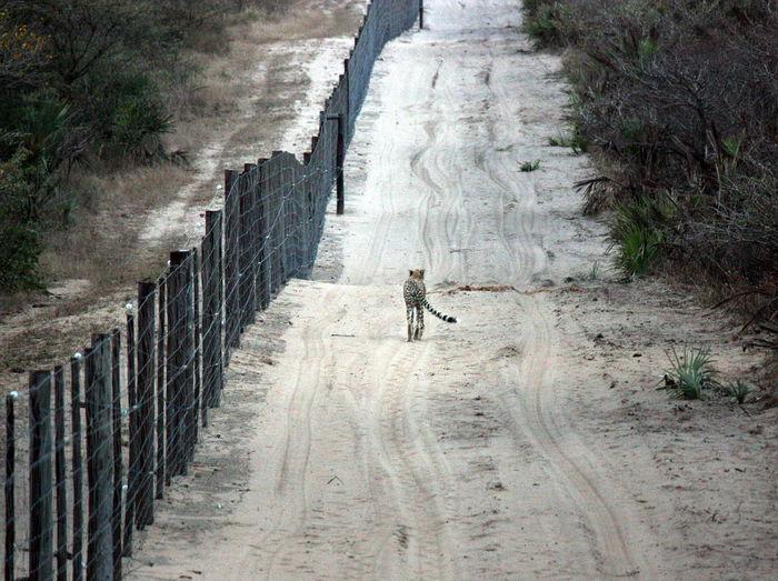 Cheetah walking on sand