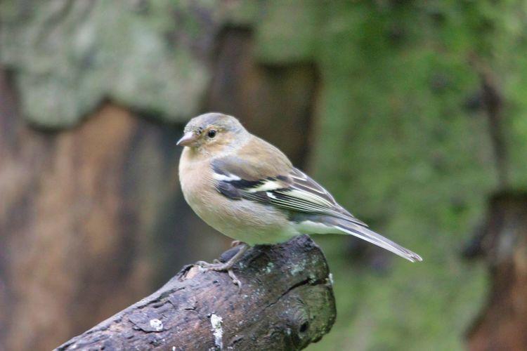 Bird Perching Mourning Dove Tree Branch Songbird  Close-up