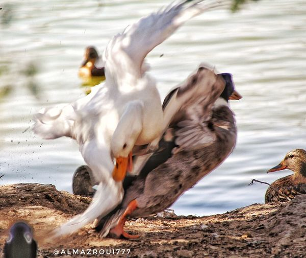 الصراع EyeEm UAE Dubai سيح_السلم بحيرة البط دبي الامارات المزروعي تصويري  Duck Duck Lake Bird Animal Themes Animals In The Wild Animal Wildlife Nature