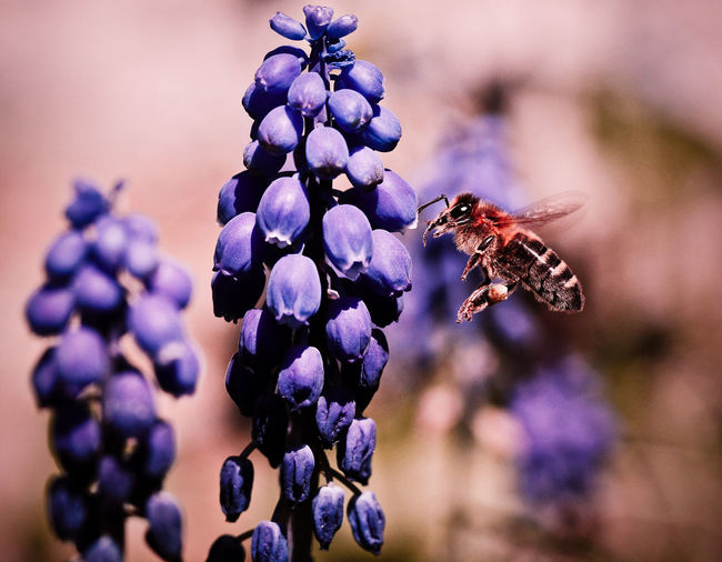 Close-up of honey bee flying by grape hyacinths