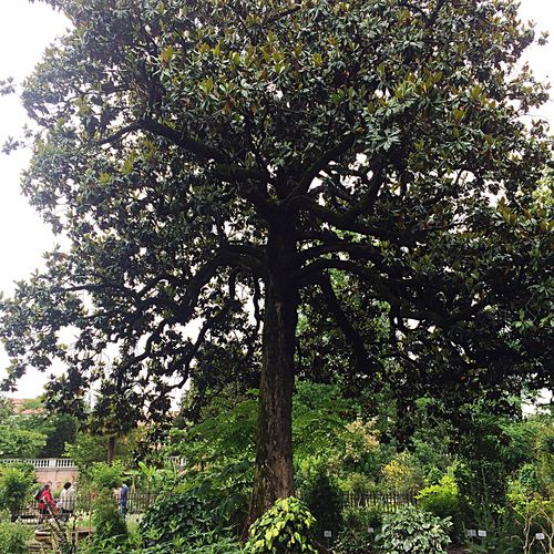 The biggest Magnolia in Europe Botanical Gardens Botanical Garden Magnolia Magnolia Tree Trees Plants Green Nature Leaves Garden
