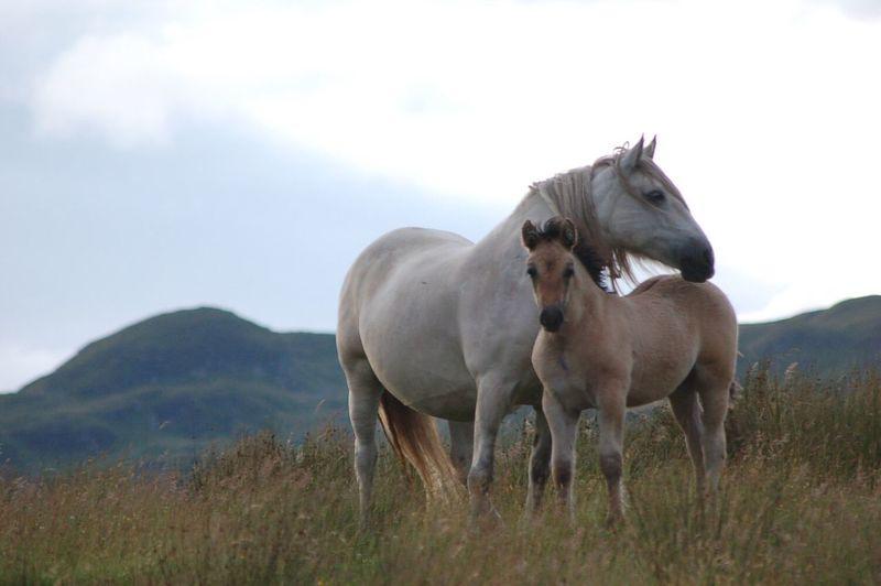 Highland ponies on field against sky