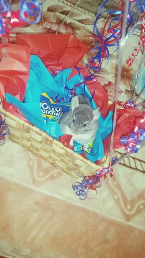 Taking off in my blimp with lots of candy :) Chinchilla Relaxing Enjoying Life