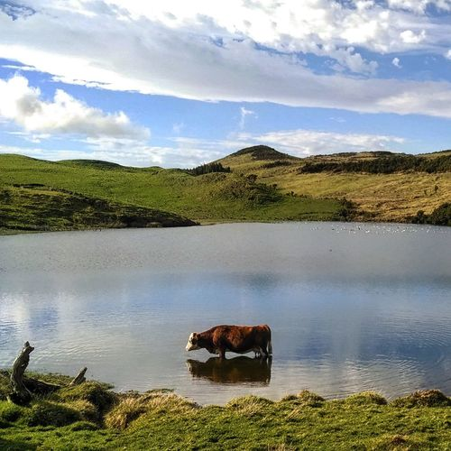 Cow Blue Sky EyeEm Nature Lover EyeEm Best Shots Naturelovers Clouds And Sky Nature Nature Photography Clouds Reflection Water Reflections Portugal Green Azores Pico Island Sunny Eyeem Nature Water Enjoying Life EyeEmBestPics Cloudporn Sun Cloud Sunny Day Pico