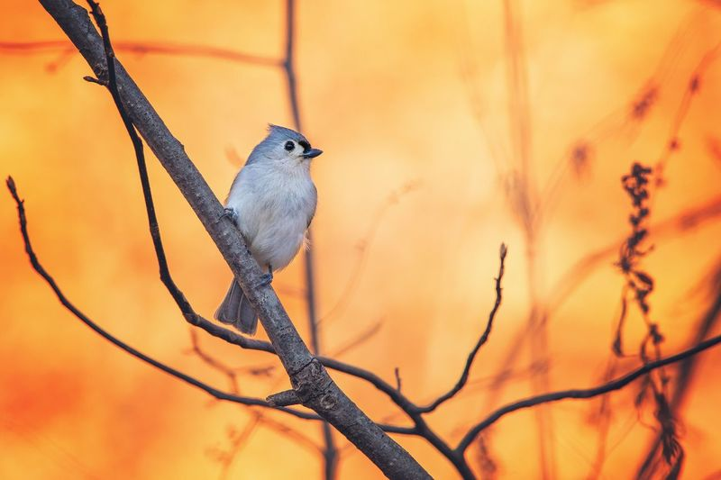 Titmouse Tufted Bird One Animal Animal Themes Animals In The Wild Animal Wildlife Perching No People Nature Branch Outdoors Beauty In Nature Close-up