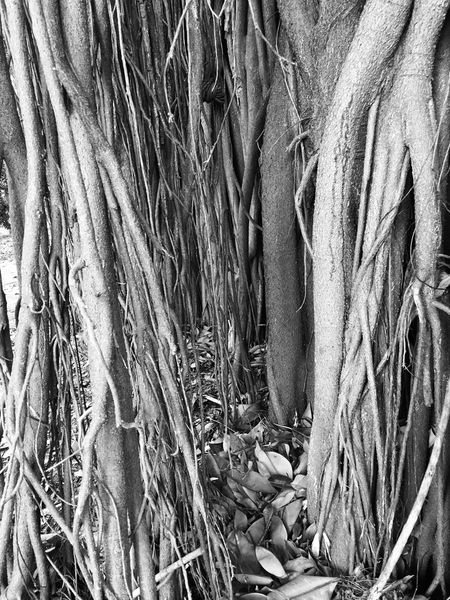 Raizes Arvore Tree Black & White Parque Do Piqueri, Nature, Trees No People Nature Day Close-up