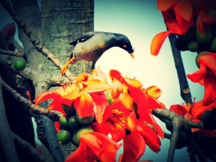 Common Mynah Check This Out Flowers,Plants & Garden Flowers, Nature And Beauty EyeEm Nature Lover Birds🐦⛅ Birds Of EyeEm  Bird Photography Red Flowers Human Vs Nature