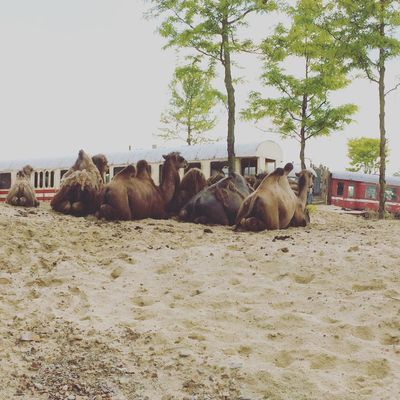 Animal Animal Themes Brown Camel Camels Domestic Animals Group Livestock Lying Down Wildlands  Relaxation Relaxing Resting Zoo Zoology