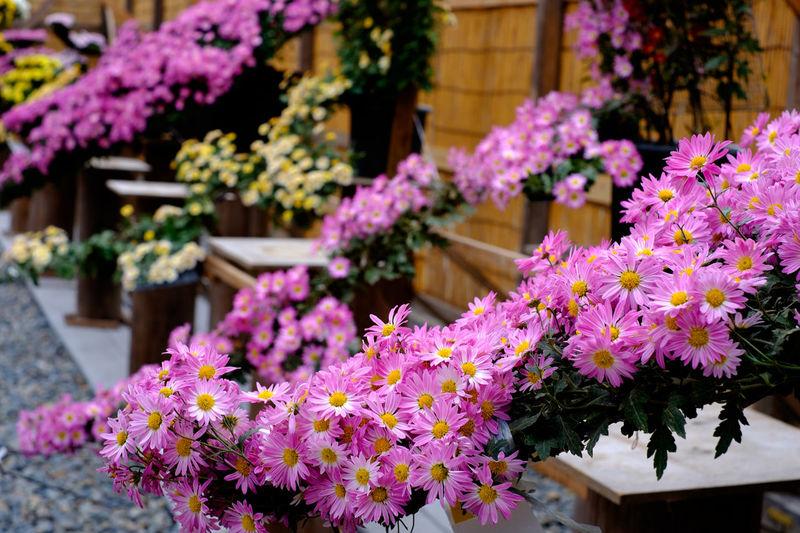 Chrysanthemums blooming in lawn