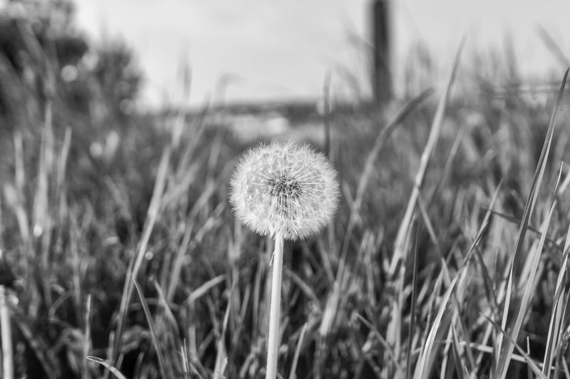 Black And White Close-up Dandelion Day Field Flower Flower Head Fragility Freshness Grass Growth Nature No People Outdoors Plant Uncultivated